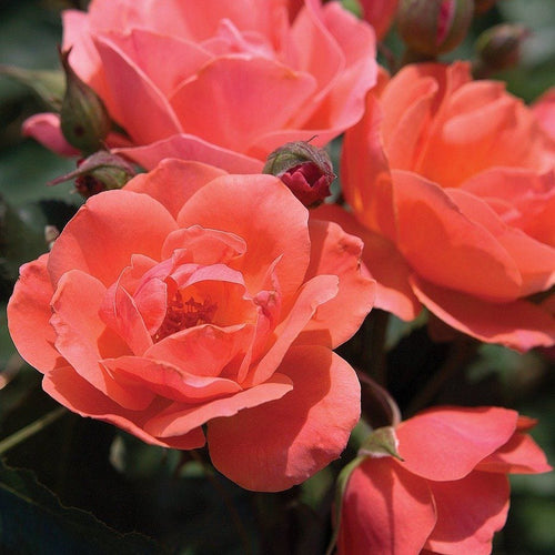 Rose , 'Carefree Celebration' - Songsco.com - Ocean Nursery