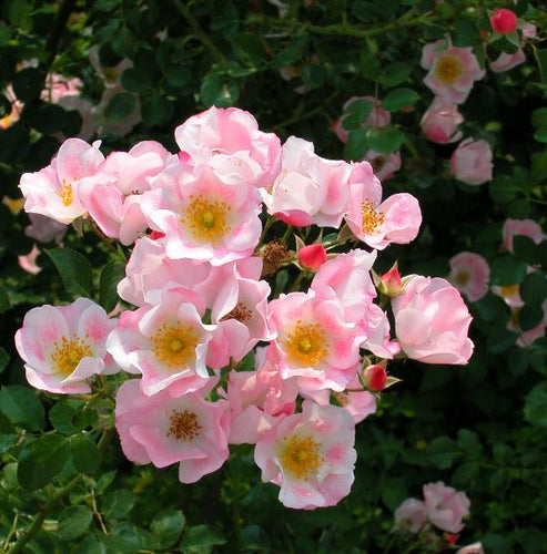 Rose , 'Carefree Delight' - Songsco.com - Ocean Nursery