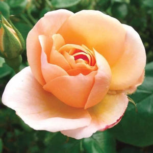 Rose , 'Chinook Sunrise' - Songsco.com - Ocean Nursery
