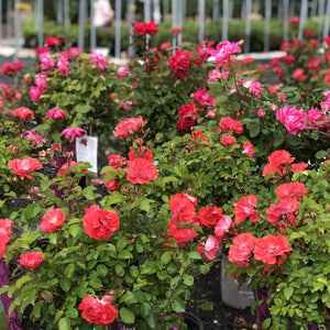 Rose , 'Coral Drift' - Songsco.com - Ocean Nursery
