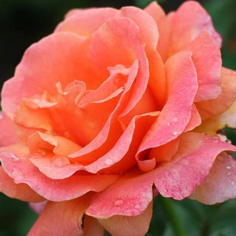 Rose , 'Easy Does It' - Songsco.com - Ocean Nursery