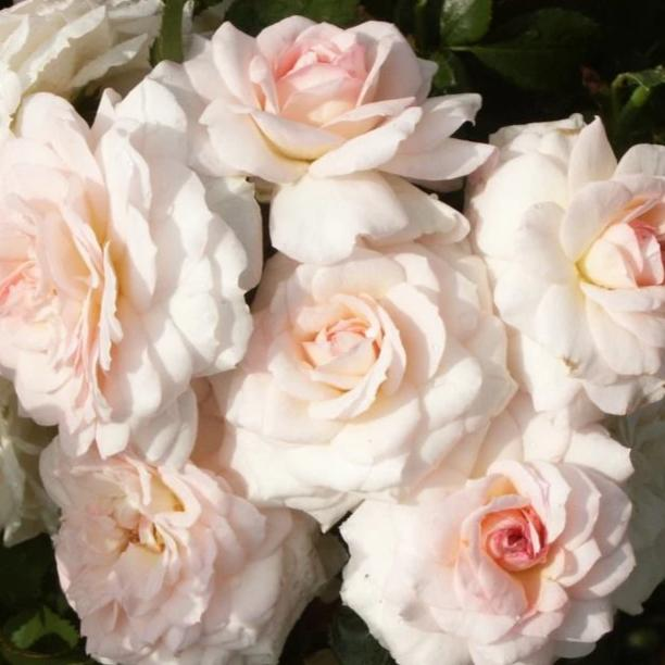Rose , 'Elegant Fairytale' - Songsco.com - Ocean Nursery