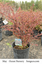 Load image into Gallery viewer, Rose Glow Barberry - Songsco.com - Ocean Nursery