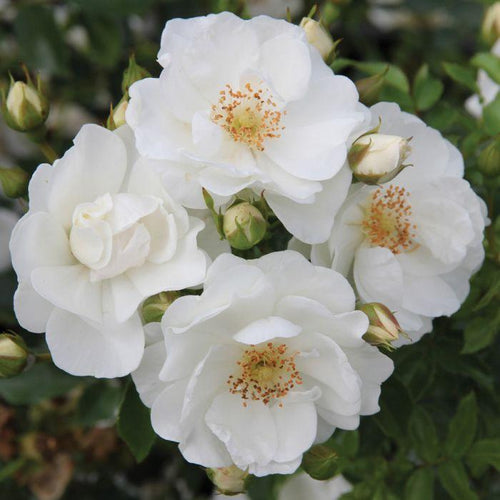 Rose ,  'Innocencia' - Songsco.com - Ocean Nursery