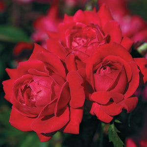 Rose , 'Knock Out' - Songsco.com - Ocean Nursery