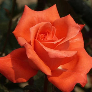 Rose , 'Las Vegas' - Songsco.com - Ocean Nursery