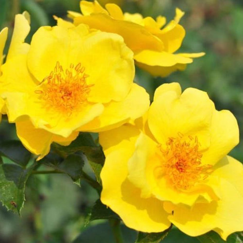 Rose , 'Lemon Fizz' - Songsco.com - Ocean Nursery