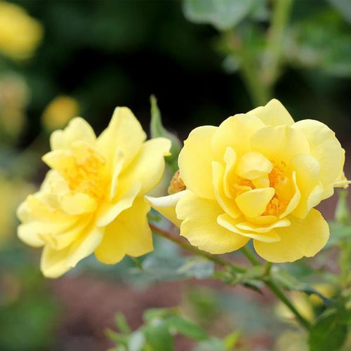 Rose , 'Lemon Zest' - Songsco.com - Ocean Nursery