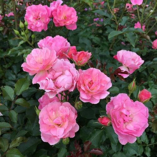 Rose , 'Maxi Vita' - Songsco.com - Ocean Nursery