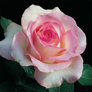 Rose , 'Moonstone' - Songsco.com - Ocean Nursery