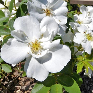Rose , 'Morden Snow Beauty' - Songsco.com - Ocean Nursery