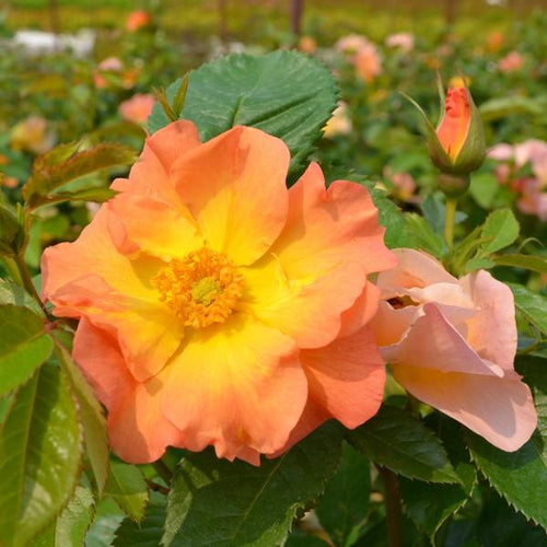 Rose , 'Morden Sunrise' - Songsco.com - Ocean Nursery