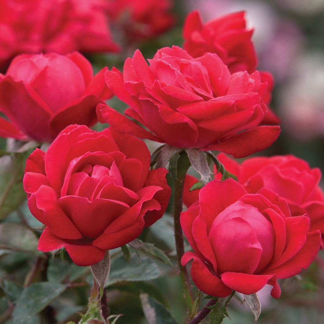 Rose , 'Pink Double Knock Out' - Songsco.com - Ocean Nursery
