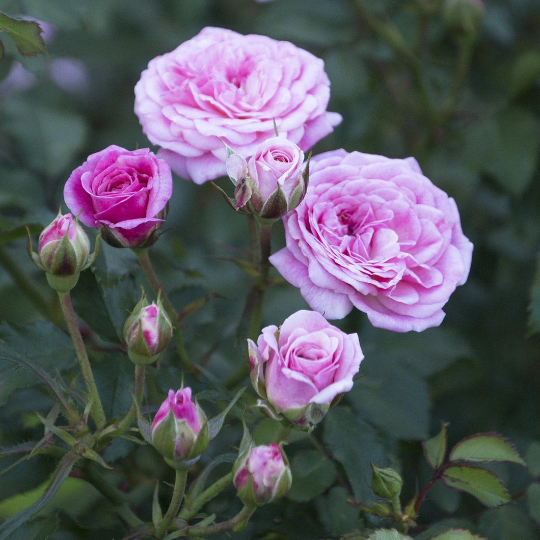Rose , 'Sweet Drift' - Songsco.com - Ocean Nursery