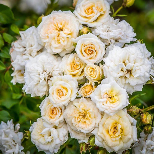 Rose , 'White Drift' - Songsco.com - Ocean Nursery