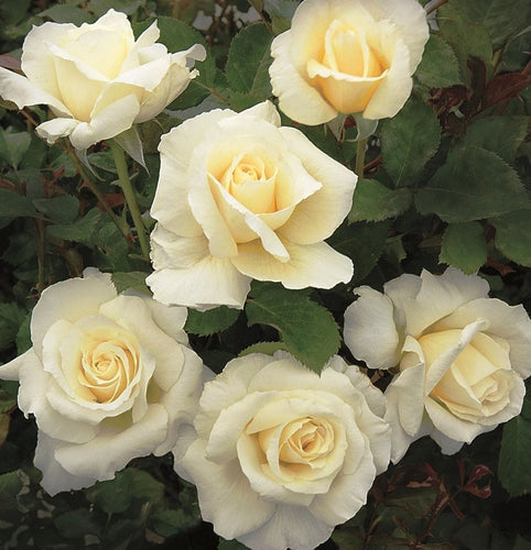 Rose , 'White Licorice' - Songsco.com - Ocean Nursery