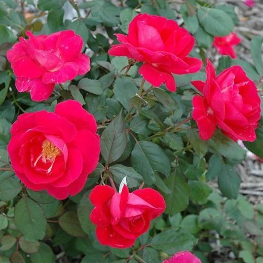 Rose , 'Winnipeg Parks' - Songsco.com - Ocean Nursery