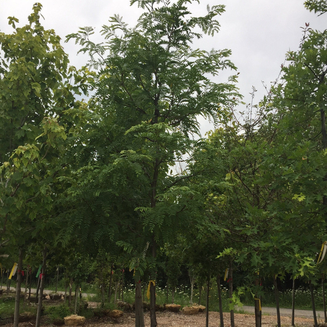 Shademaster Honeylocust - Songsco.com - Ocean Nursery