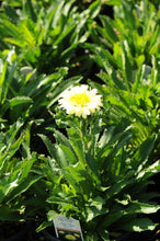 Load image into Gallery viewer, Shasta Daisy,Real Dream - Songsco.com - Ocean Nursery