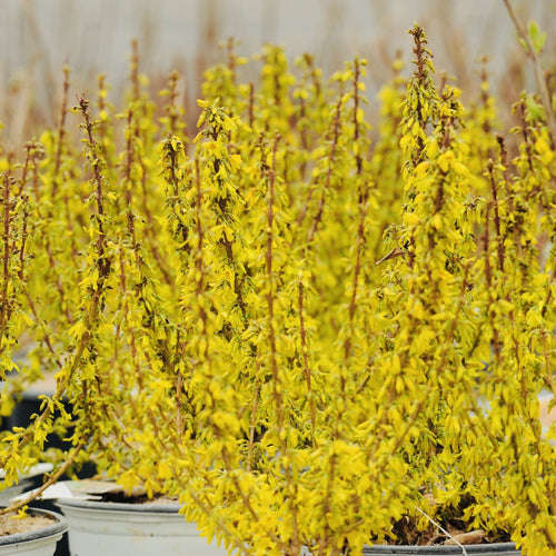 Show Off Sugar Baby Forsythia - Songsco.com - Ocean Nursery
