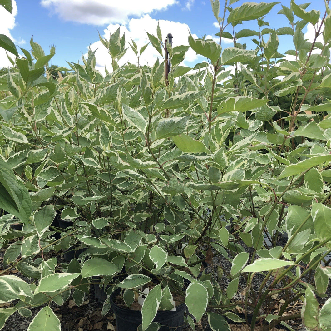 Silveleaf Dogwood - Songsco.com - Ocean Nursery
