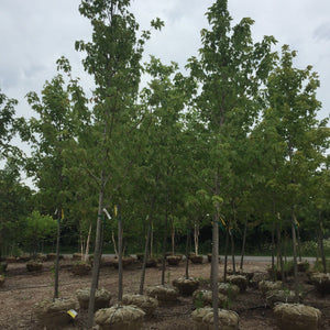 Silver Maple - Songsco.com - Ocean Nursery