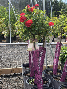 Standard Coral Drift Rose - Songsco.com - Ocean Nursery
