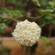 Load image into Gallery viewer, Standard Fragrant Snowball - Songsco.com - Ocean Nursery