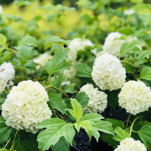 Standard Fragrant Snowball - Songsco.com - Ocean Nursery