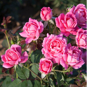 Standard Pink Double Knock Out Rose - Songsco.com - Ocean Nursery