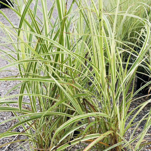 Striped Eulalia Grass - Songsco.com - Ocean Nursery