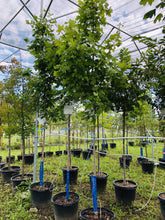 Load image into Gallery viewer, Sugar Maple - Songsco.com - Ocean Nursery