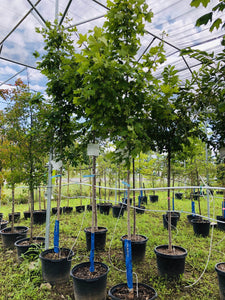 Sugar Maple - Songsco.com - Ocean Nursery