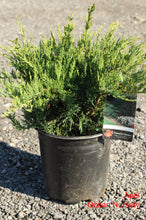 Load image into Gallery viewer, Tamarix Juniper - Songsco.com - Ocean Nursery