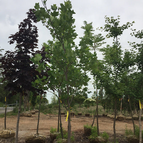 Tulip Tree - Songsco.com - Ocean Nursery