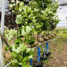 Load image into Gallery viewer, Tulip Tree - Songsco.com - Ocean Nursery