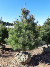 Load image into Gallery viewer, White Pine - Songsco.com - Ocean Nursery