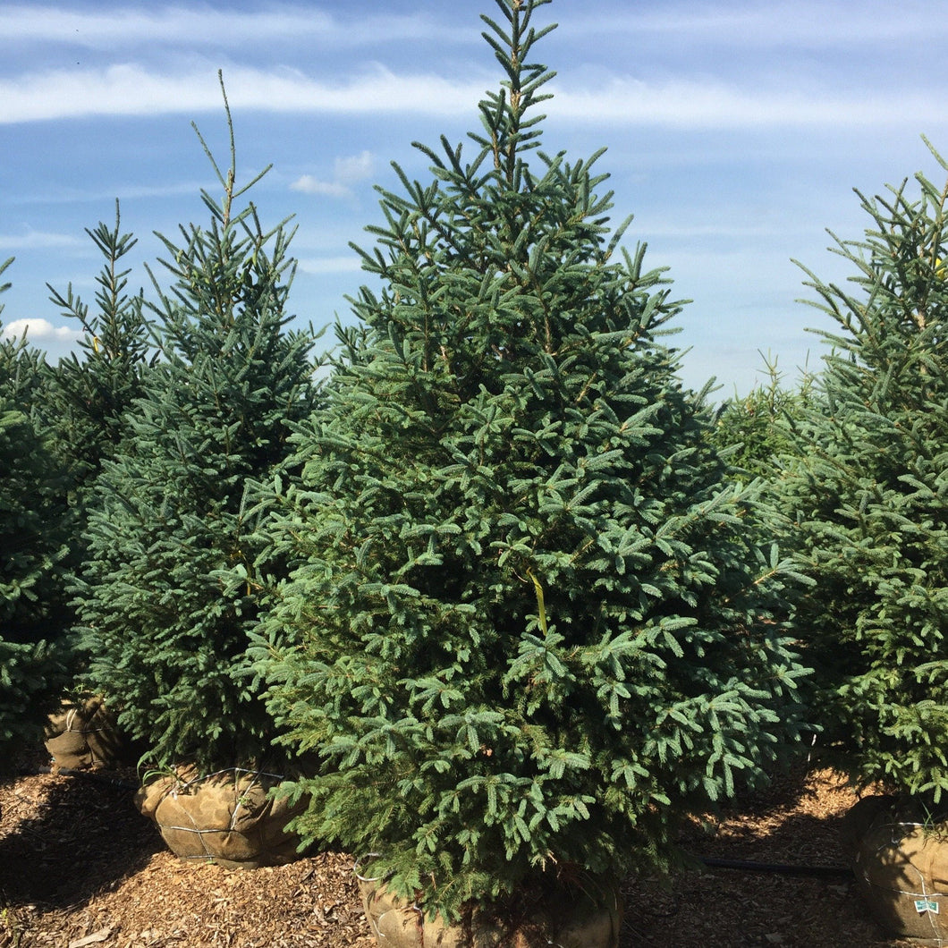 White Spruce - Songsco.com - Ocean Nursery