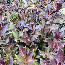 Load image into Gallery viewer, Wine and Roses Weigela - Songsco.com - Ocean Nursery