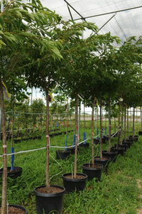 Yoshino Cherry - Songsco.com - Ocean Nursery