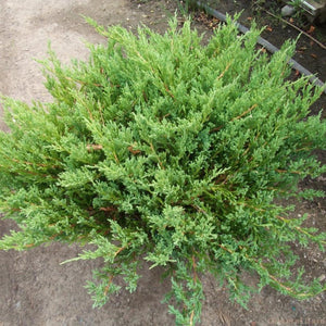 Youngstown Juniper - Songsco.com - Ocean Nursery