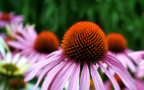 Echinacea Flowers for Immune-Boosting