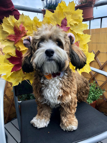 Butterfly costume on our Havanese puppy, Fritz, for the best pet costume