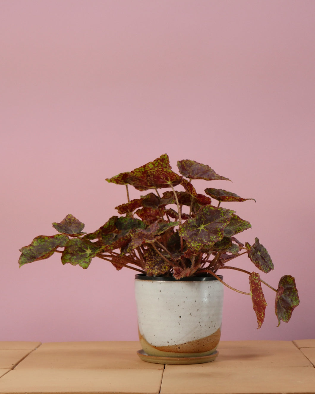 Begonia Rex Red & Green