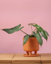 Load image into Gallery viewer, Philodendron Atabapoense