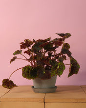 Load image into Gallery viewer, Begonia Rex Red & Green