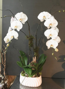 shop.balconi.ca Orchids Morning Calm