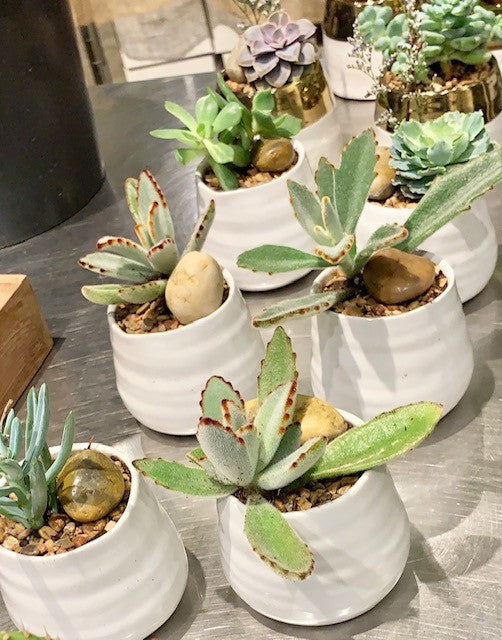 shop.balconi.ca Succulent New Hope