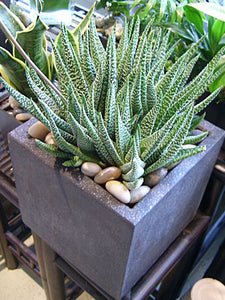 Haworthia in modern square pot