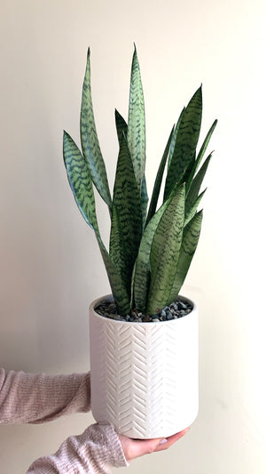 shop.balconi.ca Eco Planter Sansevieria